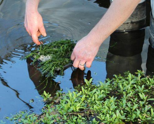Laat de mandjes zeer voorzichtig in de vijver zakken bij het vijverplanten planten