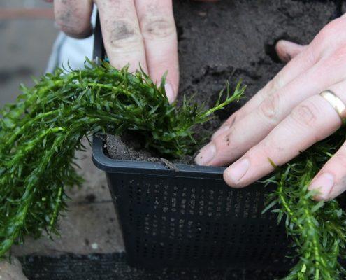 vijverplanten-in-gaatje