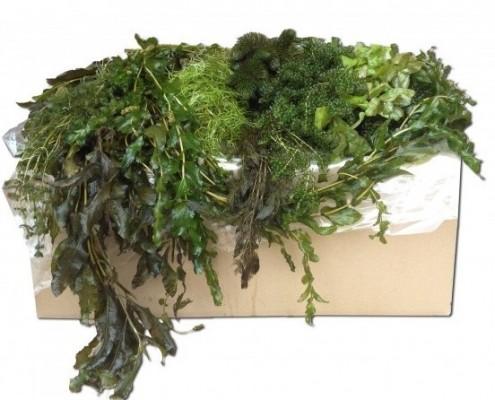 Zuurstofplanten te koop